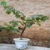 葡萄树苗24品种任选南北方大葡萄树8年盆栽