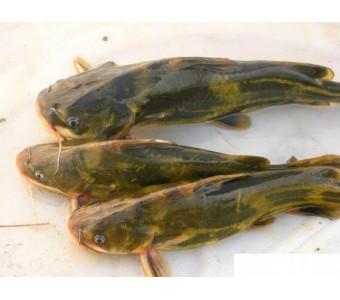 鲜活汪刺鱼