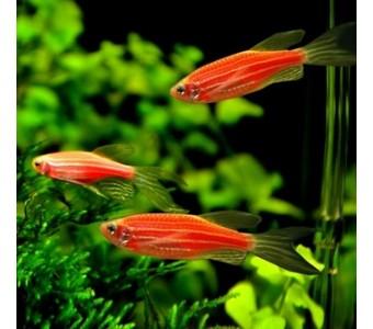 热带鱼斑马鱼 红斑马 小型灯鱼 观赏鱼批发