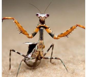 爬虫/昆虫/螳螂/活体/非洲芽翅/迷彩螳