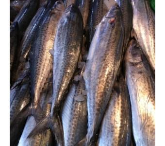 象山石浦海鲜 野生新鲜马鲛鱼鲅鱼/大巴鱼