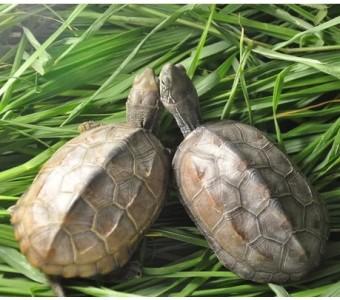 情侣龟 公母一对 8-9cm 中华草龟宠物活体小乌龟墨龟 金线龟