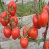 阿乃兹FA-189西红柿