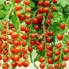FA-1306樱桃西红柿