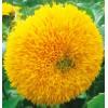 重瓣向日葵