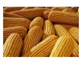 高产玉米品种京丰8号 (149播放)