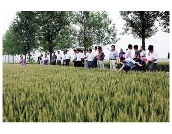 小麦新品种皖垦麦076 (130播放)