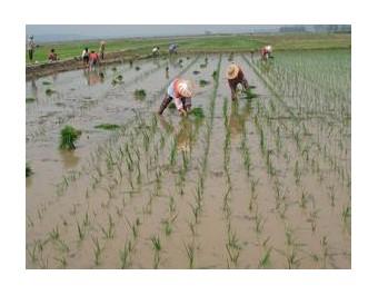 633稻穗特写水稻梯田农村农民生产农业收割插秧 (113播放)