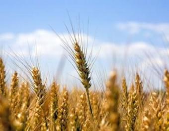 冬小麦病虫草无公害防治技术 (186播放)