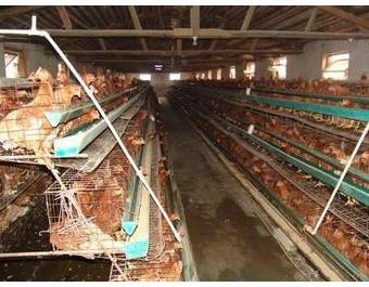 棚室养殖鸡新技术 (122播放)