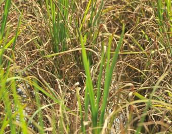 水稻病虫害防治 (281播放)