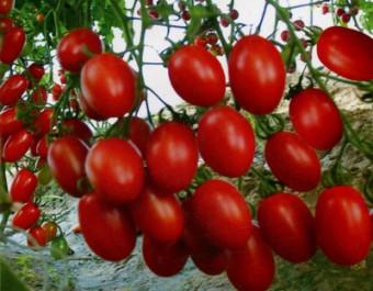江苏绿港番茄品种爱吉112秋茬实验系列 (1433播放)