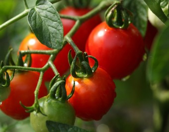 番茄病虫害防治 (47283播放)