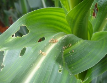 玉米病虫害防治 (276播放)