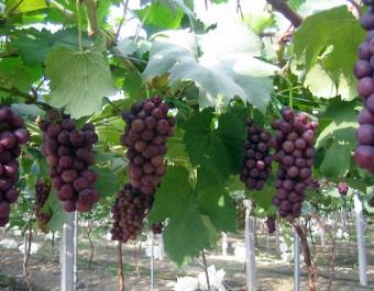大棚葡萄种植技术 (312播放)