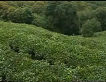云南天一堂茶业有限公司企业宣传片 (299播放)