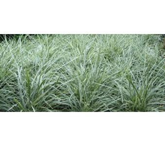 银边草,银边草种苗