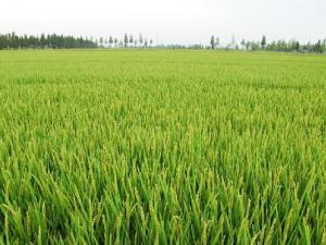 水稻穗期重大病虫重发风险较大