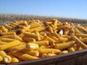 """玉米期现货""""难成气候"""""""
