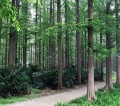 水杉公园 (3)
