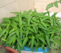 空心菜阳台种植方法 (2)