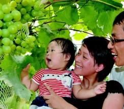 家庭栽培葡萄 (3)