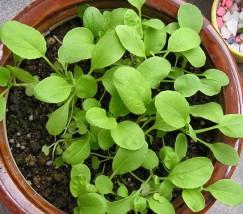 阳台种菜——小白菜 (1)