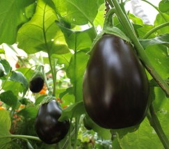 阳台种植——茄子 (1)