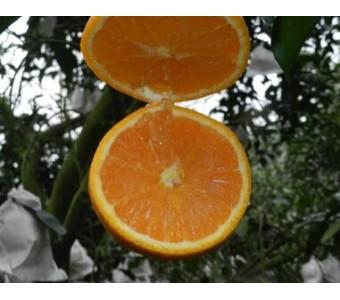 预售四川蒲江特产青见柑橘比不知火丑柑春见甜新鲜水果