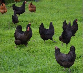 有机老母鸡 新鲜 自养土鸡五黑鸡 月子鸡 笨鸡 产妇滋补 活鸡现杀