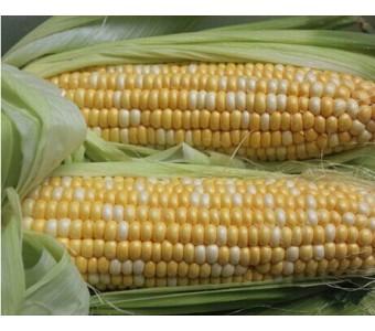 云南新鲜玉米棒现摘甜脆水果玉米