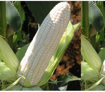 非转基因新鲜甜糯玉米棒带皮 黏粘玉米