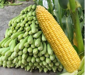 新鲜玉米棒 现摘嫩玉米