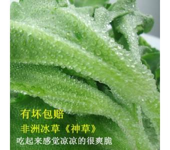 非洲冰草 新鲜蔬菜 特色野菜 新鲜冰草400g