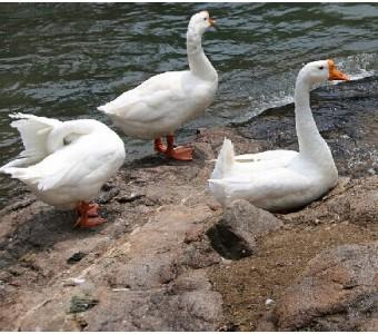 每斤新鲜鹅肉 鹅 高刘大白鹅 老鹅 农家散养草鹅