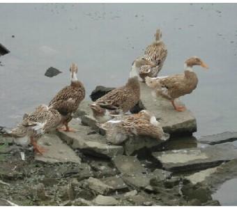 农家散养老鸭鸭子水鸭生蛋鸭新鲜炖汤调养料理