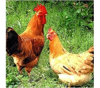 散养柴鸡 真正的农家笨鸡 鲜活肉鸡