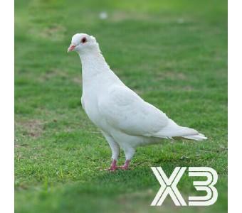 新鲜乳鸽 3只鸽子肉 散养精品
