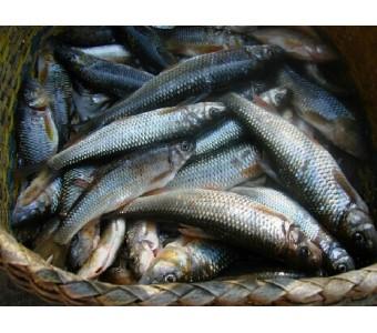 新鲜淡水野生溪鱼 石斑鱼