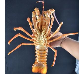 新鲜澳洲龙虾 澳龙 鲜活 水产