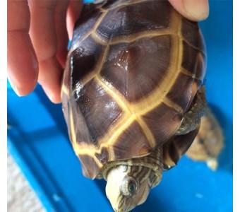 2014中华草龟一对小草龟活体宠物龟10~12厘米