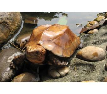 龟活体宠物龟、水龟半水龟、精品龟