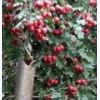 供应1-20公分山楂树、枣树、石榴树、樱桃树、苹果树、杏树