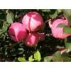 [供]山东万亩【膜袋、纸袋红富士苹果】大量上市