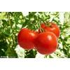 [供]辽宁大连大量出售硬粉大红品种西红柿