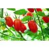 [供]大量出售圣女果(小番茄、小柿子、樱桃番茄)