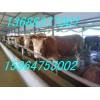 供山东哪里有卖肉牛的 梁山肉牛市场 鲁西黄牛 母牛价格