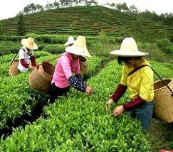 中国茶叶 (1)