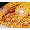 武汉敦煌种业 双国审玉米品种 飞天358   7000粒
