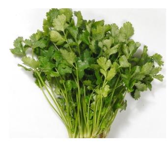 沙之洲绿色生态蔬菜--香菜 供应优质 香菜 纯天然绿色蔬菜